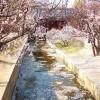 Đón năm mới với 9 địa điểm thưởng ngoạn hoa anh đào tuyệt đẹp tại Seoul